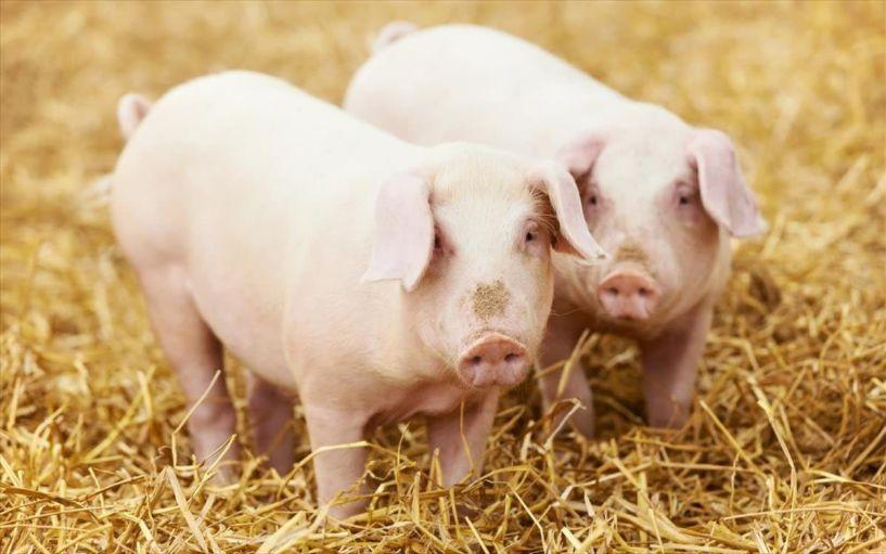 Κίνα: Ανακαλύφθηκε νέος ιός γρίπης σε χοίρους – «Μπορεί να προκαλέσει πανδημία»