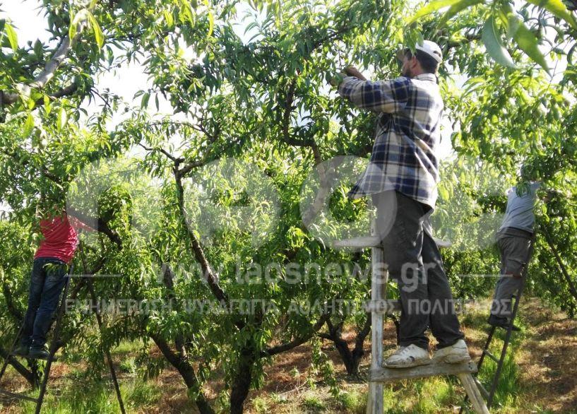 Εκκρεμεί ακόμα ΑΜΚΑ και ΑΦΜ για την πληρωμή εργατών γης σε Ημαθία  και Πέλλα