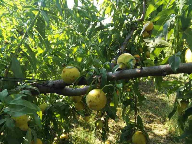 Πέντε δέντρα για «μάρτυρες» να αφήσουν οι πληγέντες αγρότες σε κάθε χωράφι