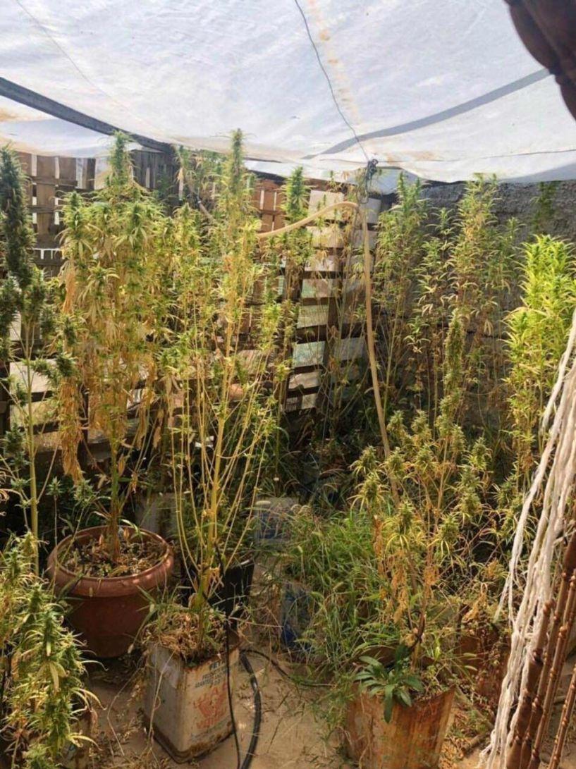 58χρονος καλλιεργούσε 18 δενδρύλλια κάνναβης ύψους περίπου 2 μέτρων στην ταράτσα! - Βίντεο