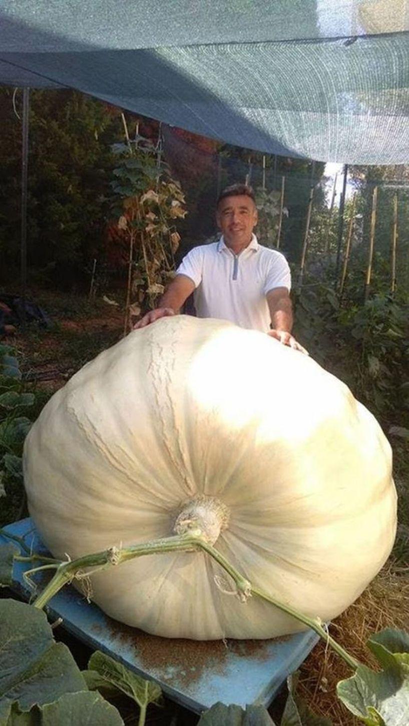 Kολοκύθα... βάρους 658 κιλών!
