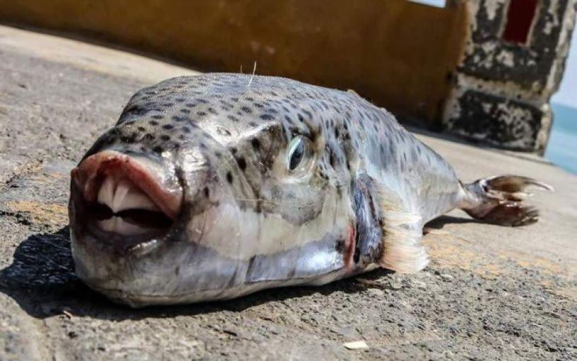 Συναγερμός στις ελληνικές θάλασσες- Εμφανίστηκαν «τοξικοί» λαγοκέφαλοι