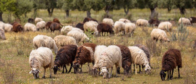 Δήμος Νάουσας: Μέχρι τις 15 Ιουνίου η υποβολή δηλώσεων βοσκής των κτηνοτρόφων