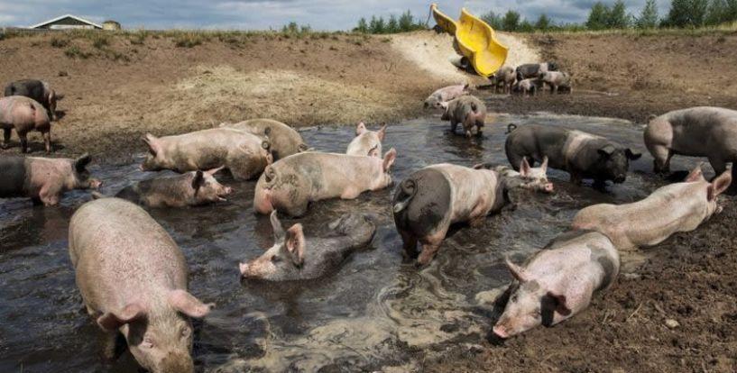 Αυστηρή τήρηση μέτρων βιοασφάλειας λόγω της Αφρικανικής Πανώλης των χοίρων στη Βουλγαρία