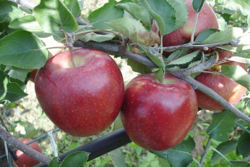 Ποικιλίες μηλιάς που προτιμούνται στις νέες φυτεύσεις από τους Ευρωπαίους καλλιεργητές