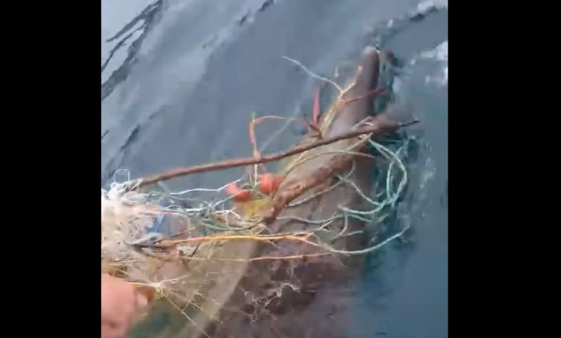 Ψαράδες απελευθέρωσαν δελφίνι από δίχτυ αλιείας στη Χαλκιδική - Δείτε τα βίντεο