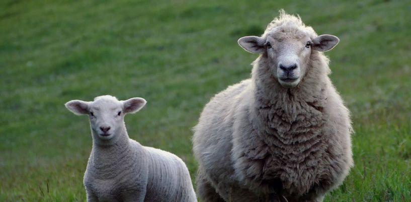 Καθορίστηκε το ύψος της ενίσχυσης  για τα ειδικά δικαιώματα των κτηνοτρόφων - Τα ποσά για τα βοειδή και για τα αιγοπρόβατα