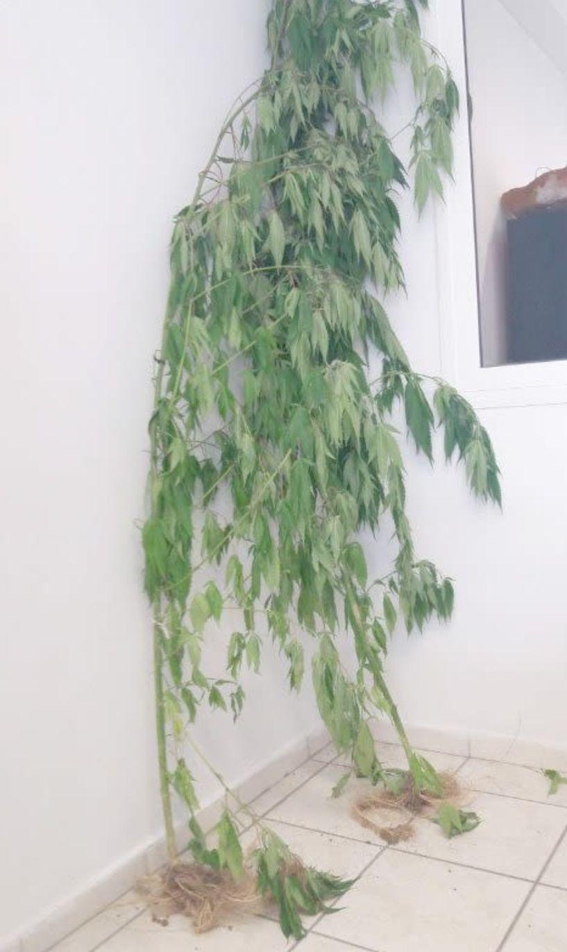 Δενδρύλλια κάνναβης 2,5 μέτρων καλλιεργούσε στην αυλή του