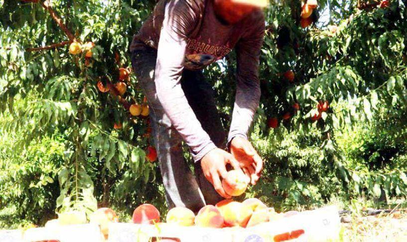 Διεπαγγελματική Πυρηνόκαρπων: Πως γίνεται ηλεκτρονικά η μετάκληση εργατών γης
