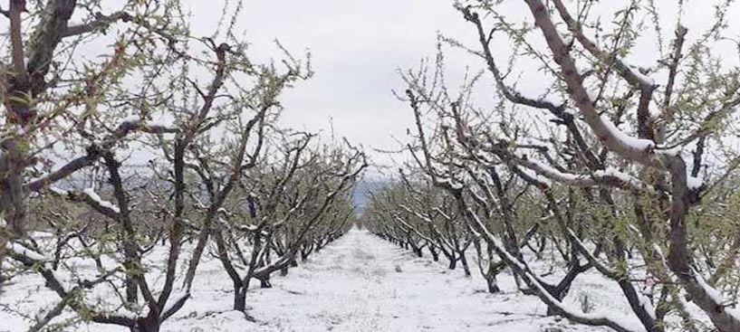 Παραγωγοί Ημαθίας: Ο χθεσινός παγετός αποτέλειωσε τις καλλιέργειες στο Νομό, που είχαν ήδη πληγεί από τον παγετό του Μαρτίου