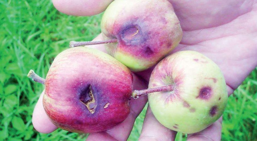 Μετά τα κεράσια, το χαλάζι αποτελείωσε και τα μήλα στο Ροδοχώρι