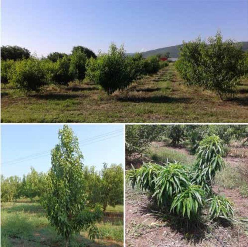 Η συλλογή ροδακινιάς 'PeachRefPop' στο ΤΦΟΔ αποτελεί διεθνές επιστημονικό εργαλείο για τα οπορωφόρα δένδρα